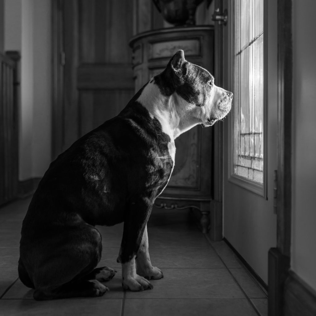 pit bulls and separation anxiety